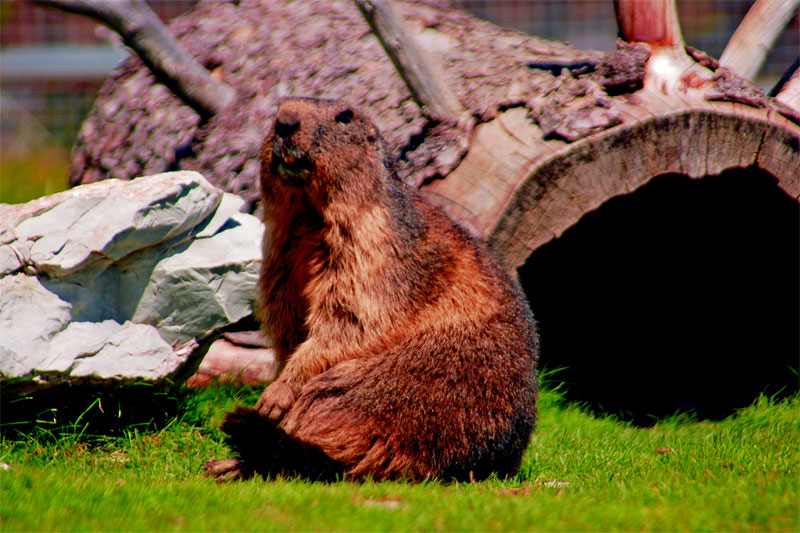 Marmot colony, Les Rochers-de-Naye