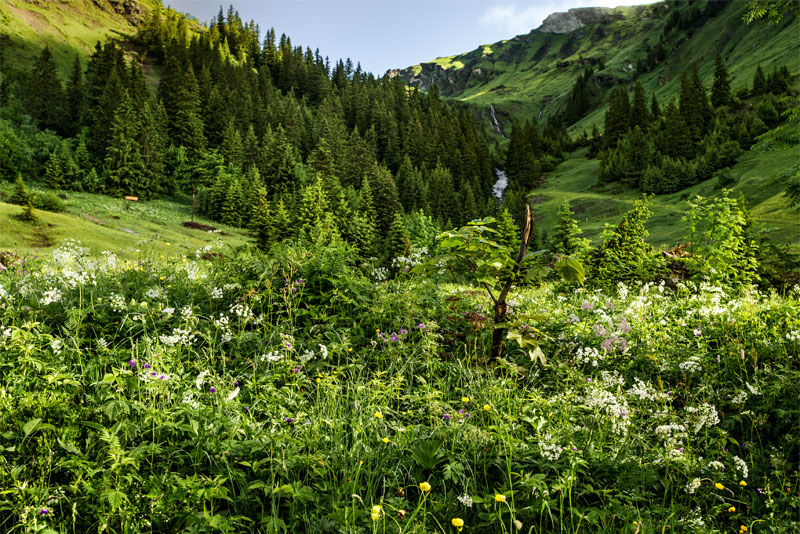 Ricola herbs growing near Grindelwald