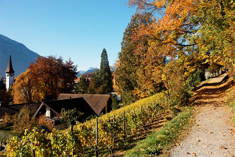 Spiez vineyards
